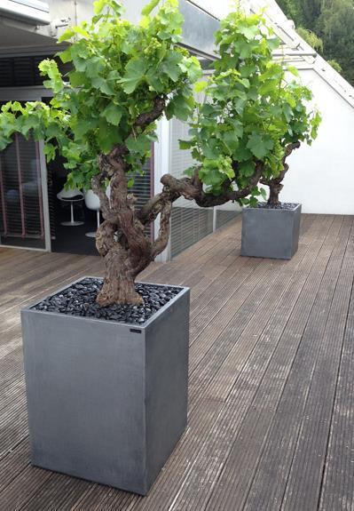 Pieds de vignes en terrasse